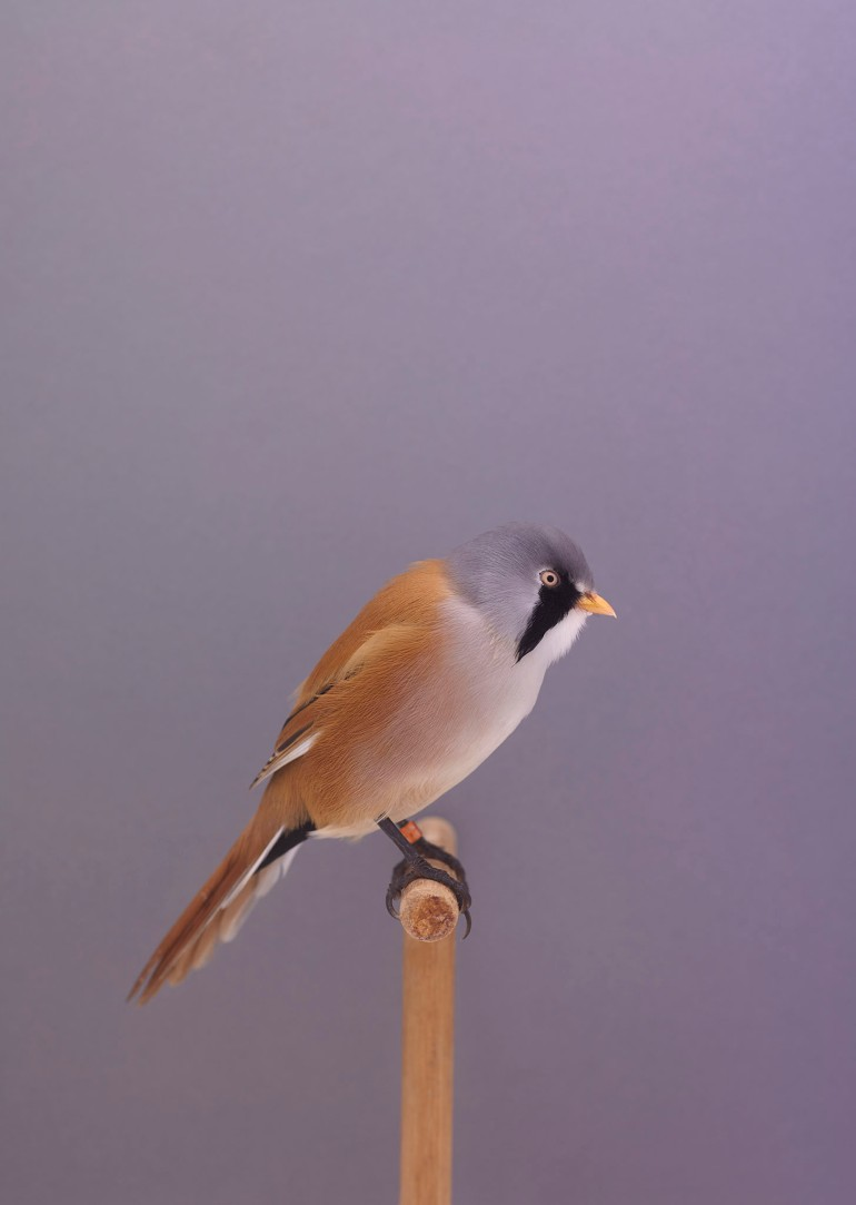 bearded-reedlings-1