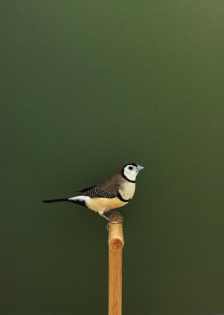 owlfinch-1